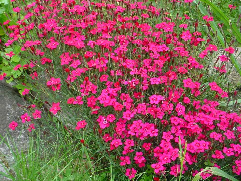 Dianthus-deltoides-030701