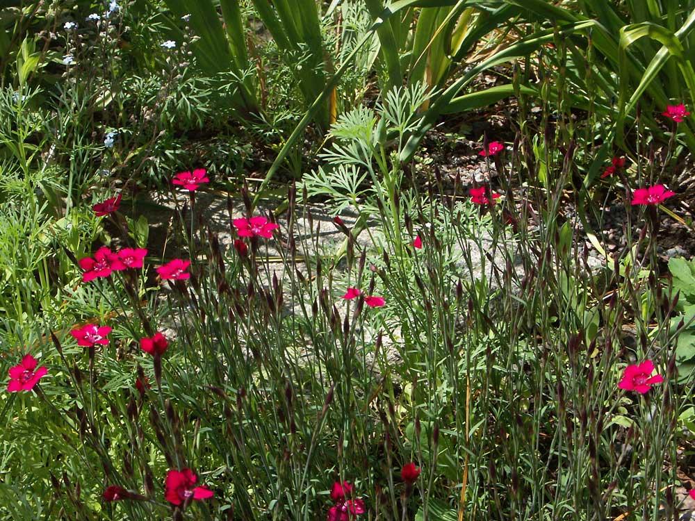 Dianthus-deltoides-040612