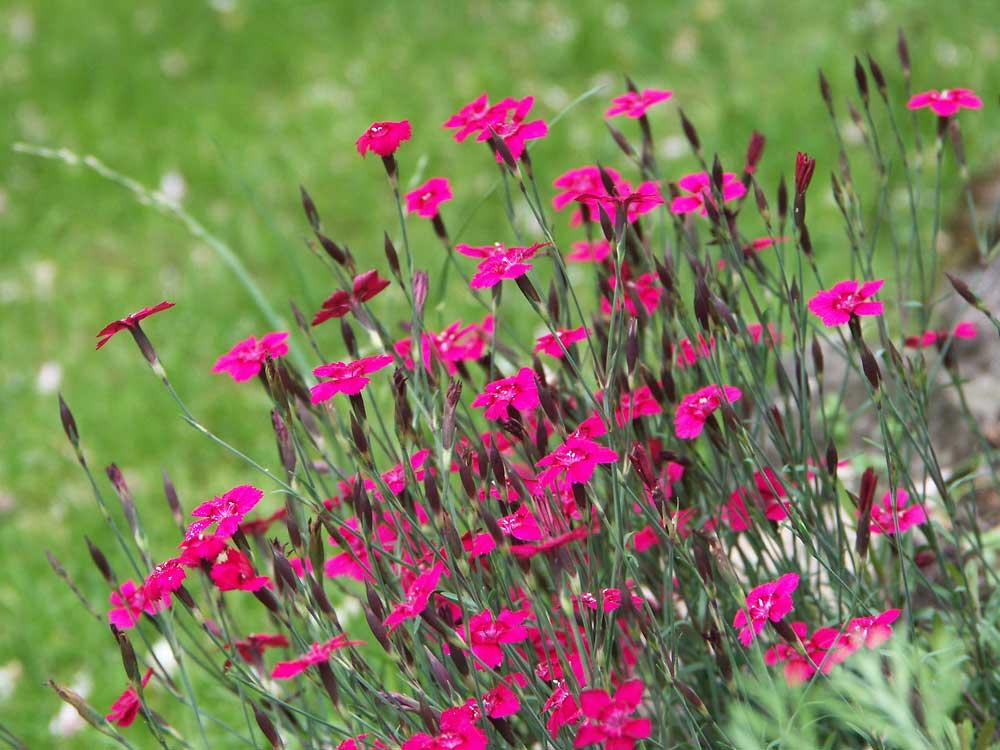 Dianthus-deltoides-070629