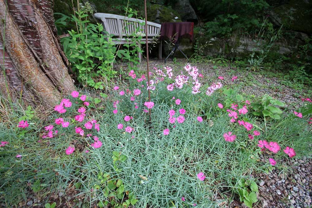 Dianthus-gratianopolitanus-140704