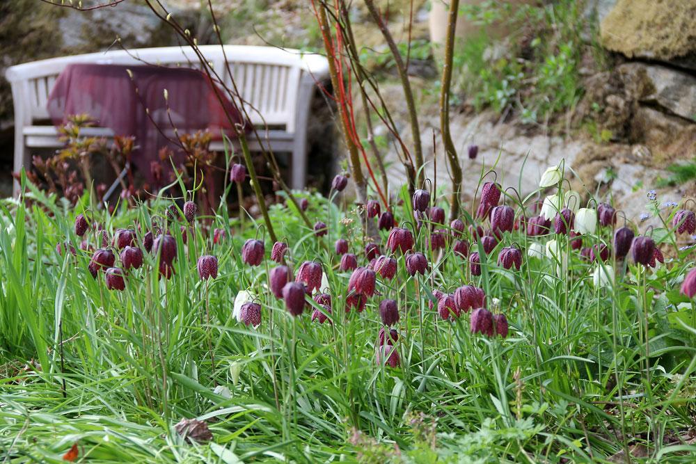 Fritillaria-meleagris-130515