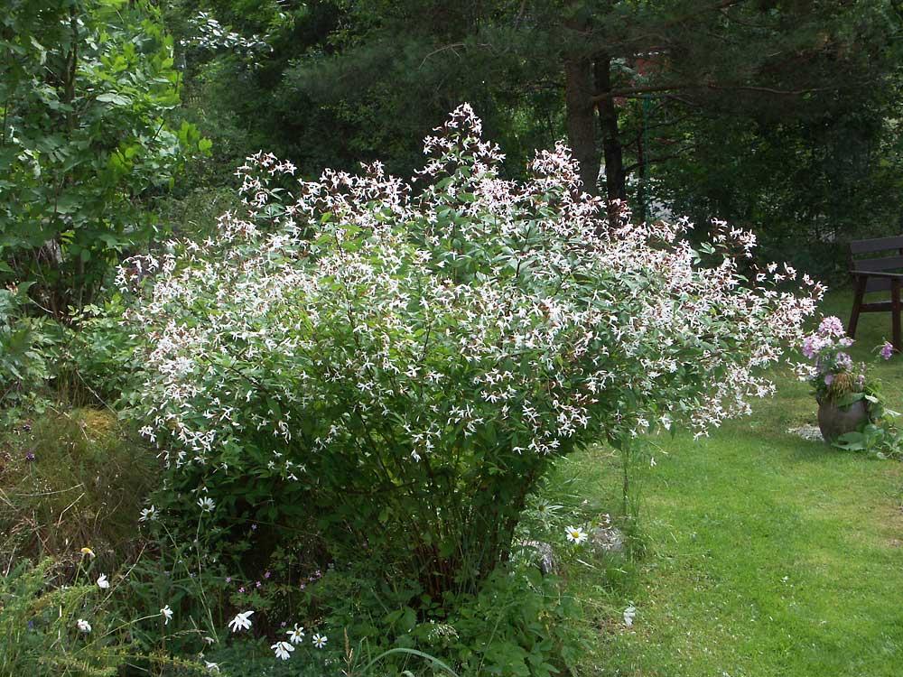 Gillenia-trifoliata-070628