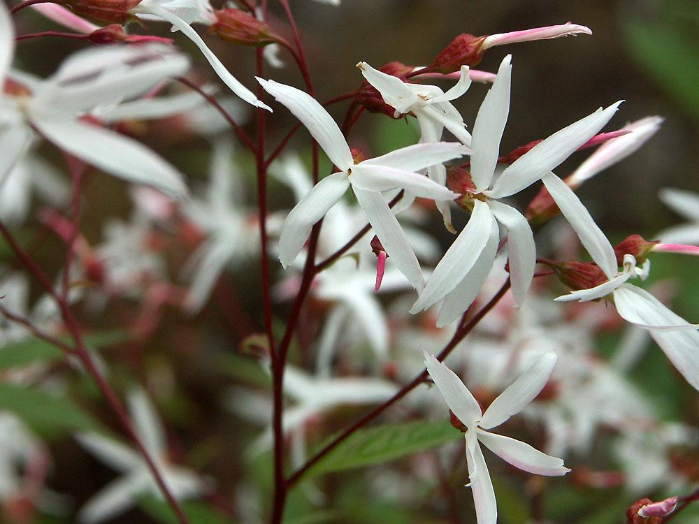 Gillenia-trifoliata-130621(4)