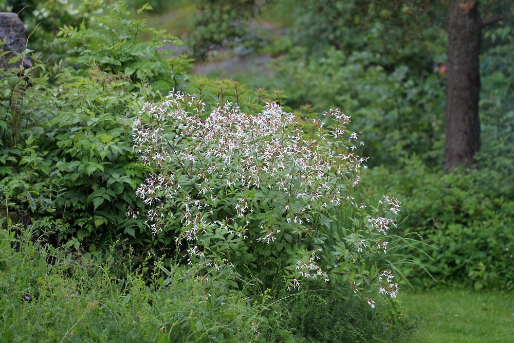 Gillenia-trifoliata-130629