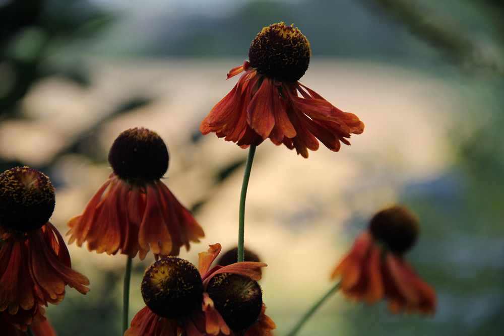 Helenium-Moerheim-Beauty-130815(2)