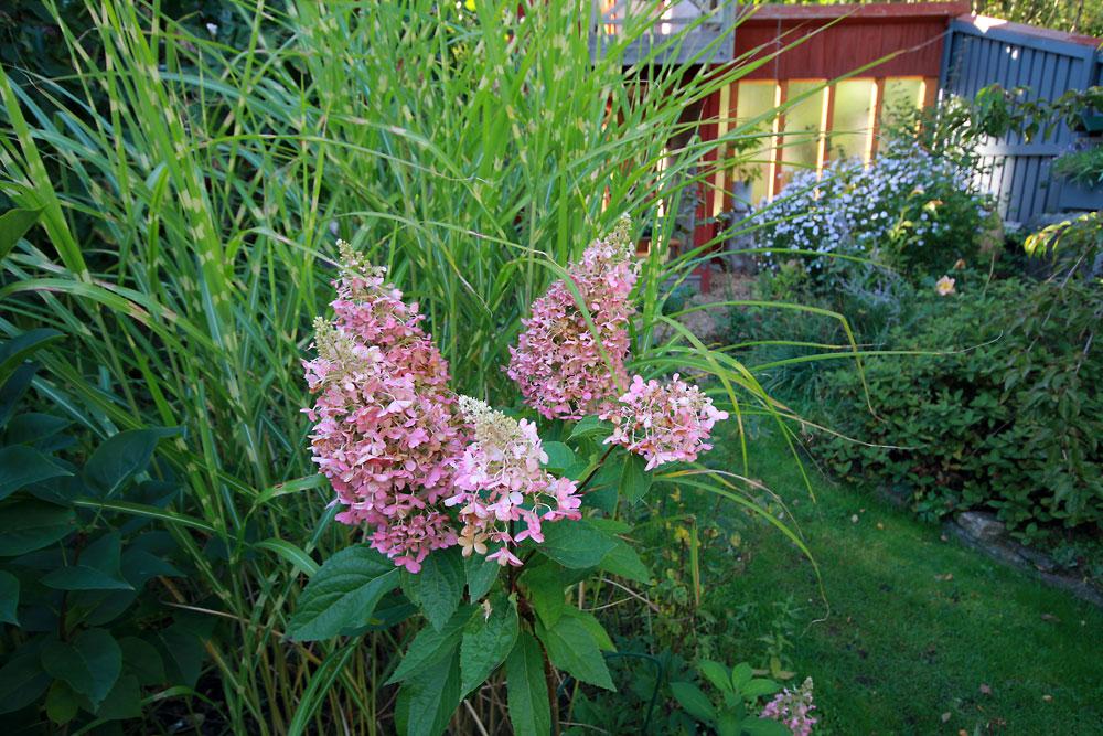 Hydrangea-paniculata-Pinky-Winky-150930