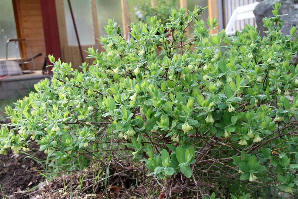 Lonicera-caerulea-anja-130522