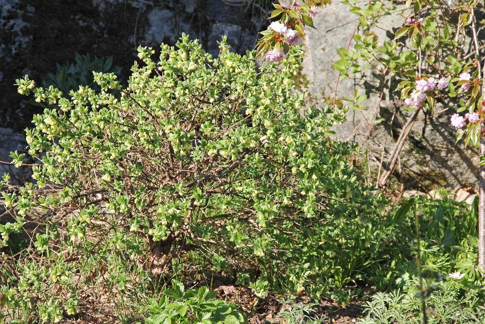 Lonicera-caerulea-anja-140428