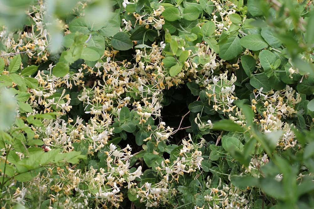 Lonicera-caprifolium-120603
