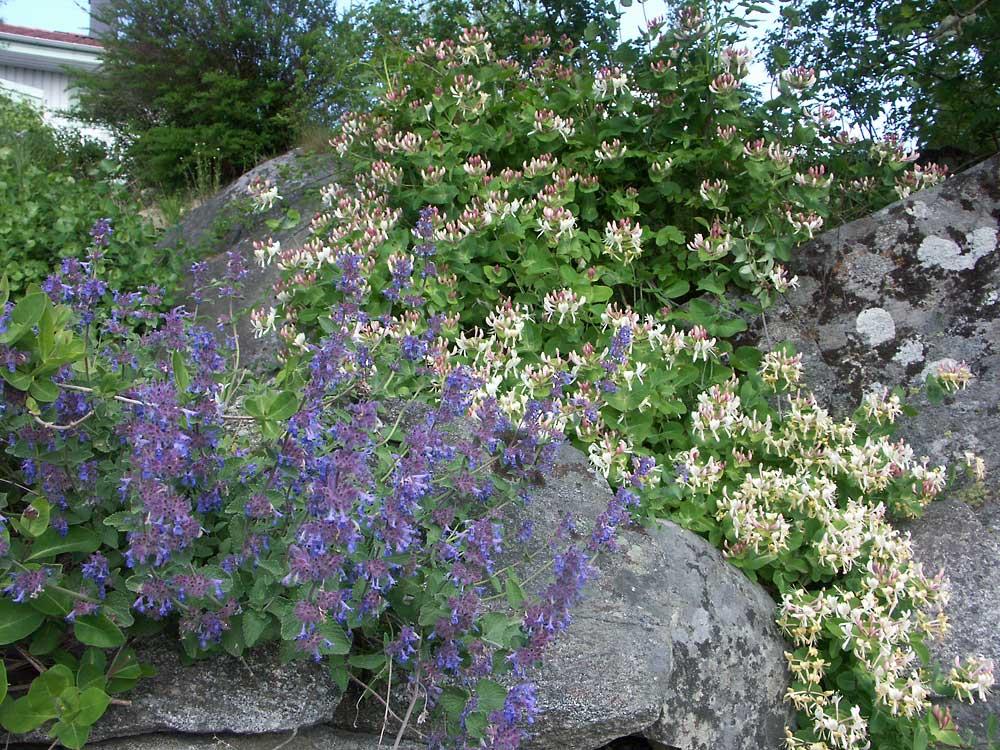 Lonicera-caprifolium-2004-05-30