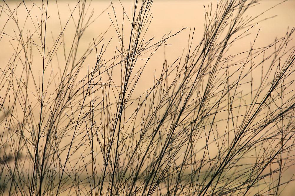 Molinia-caerulea-ssp2