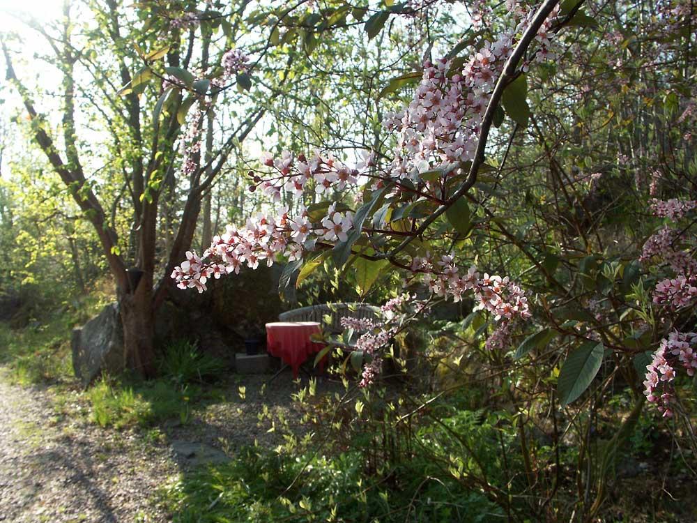 Prunus-padus-Colorata-100519