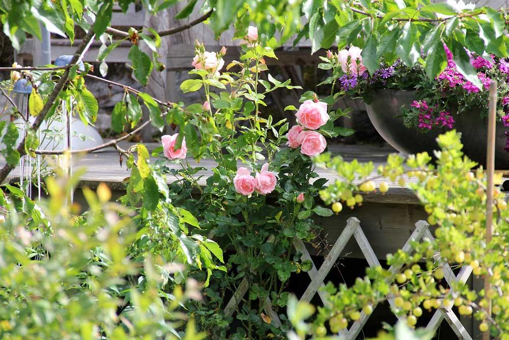 Rosa-floribunda-Astrid-Lindgren