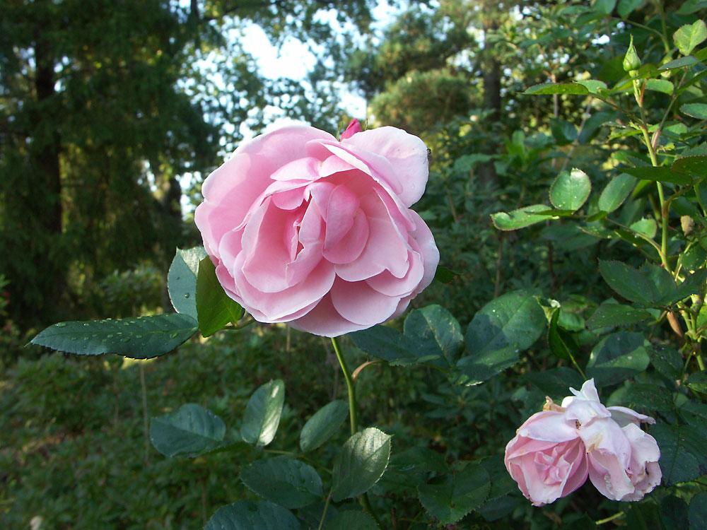 Rosa-floribunda-Astrid-Lindgren2