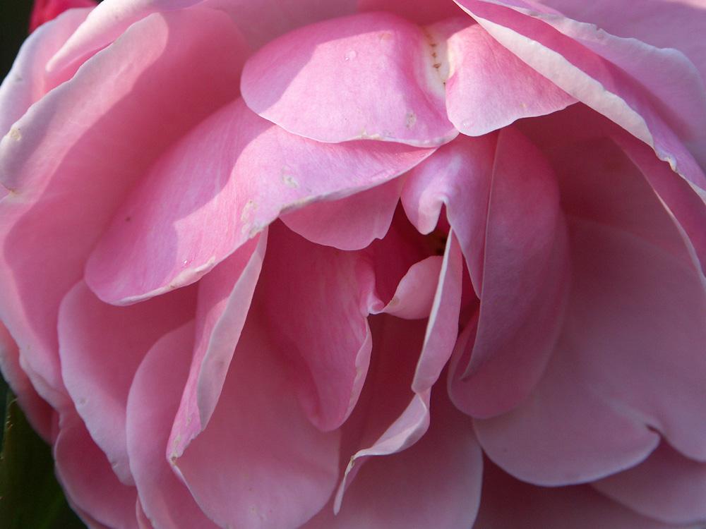 Rosa-floribunda-Astrid-Lindgren3