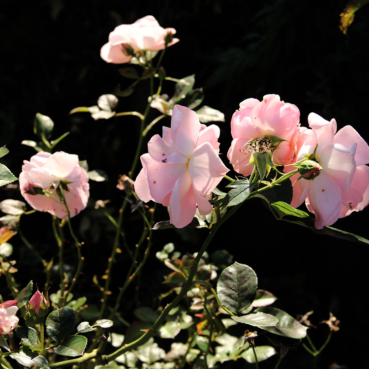 Rosa-floribunda-Astrid-Lindgren4