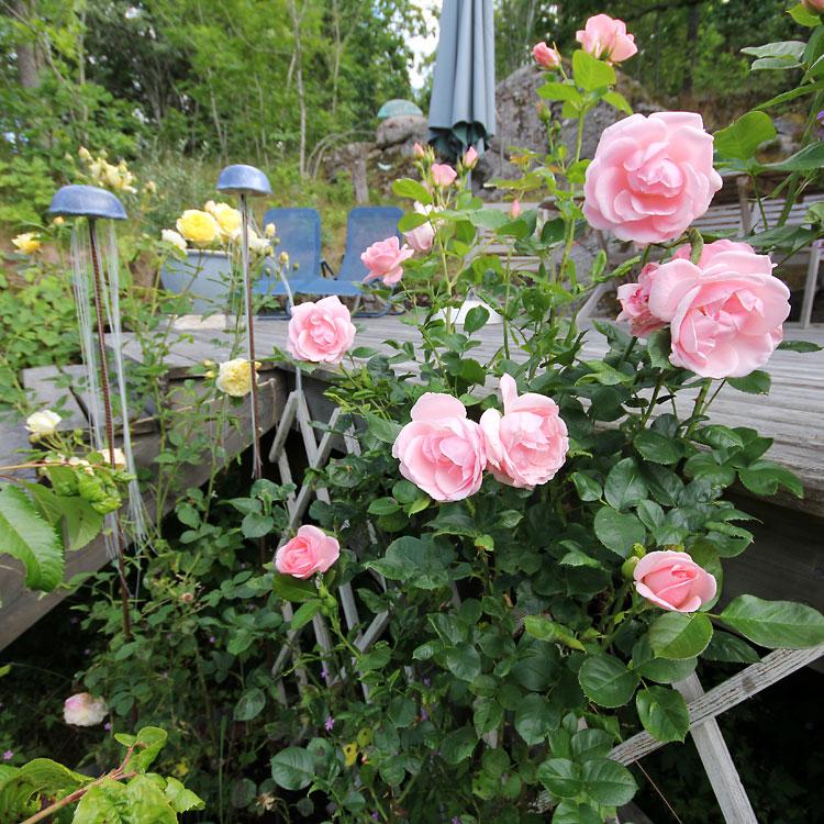 Rosa-floribunda-Astrid-Lindgren5