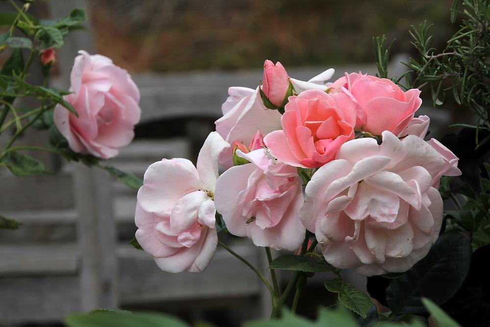 Rosa-floribunda-Astrid-Lindgren6