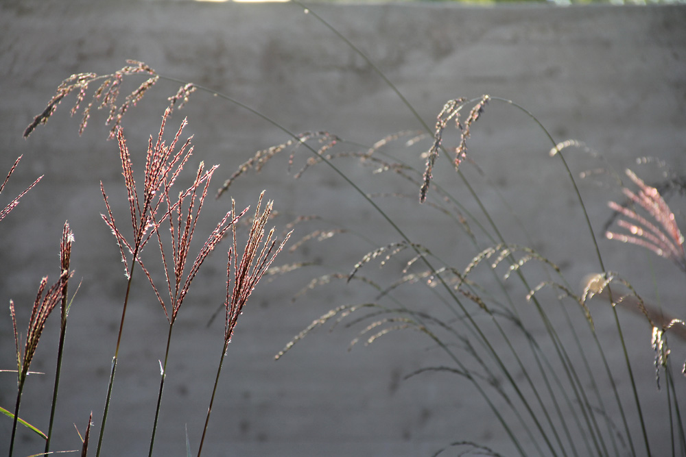 miscanthus-dronning-ingrid