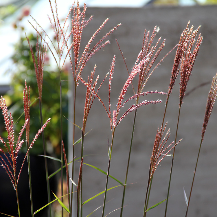 miscanthus-dronning-ingrid2