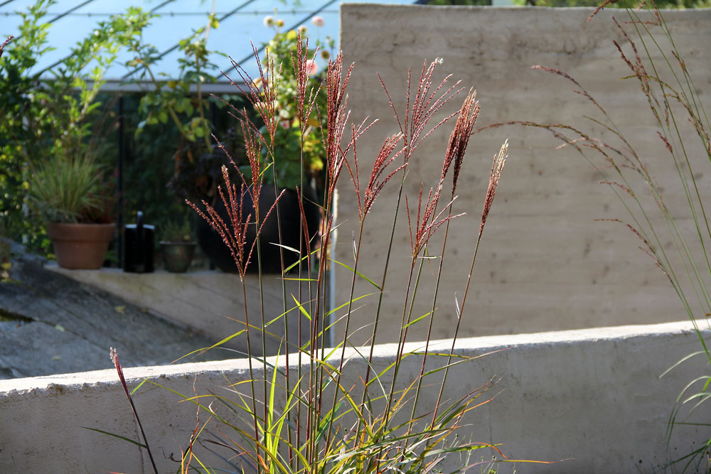 miscanthus-dronning-ingrid3