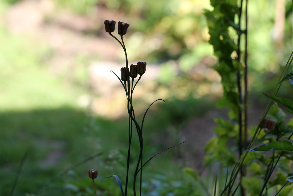Fritillaria-meleagris-140615