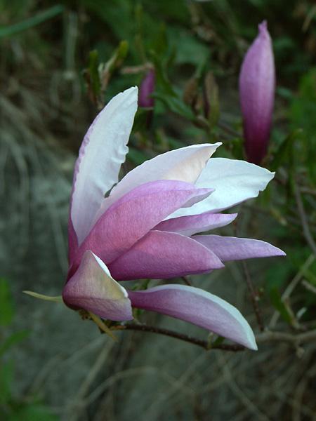 Magnolia-Susan-090512-(6)
