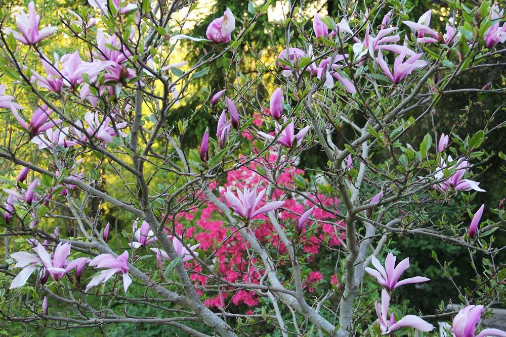 Magnolia-Susan-120523(2)