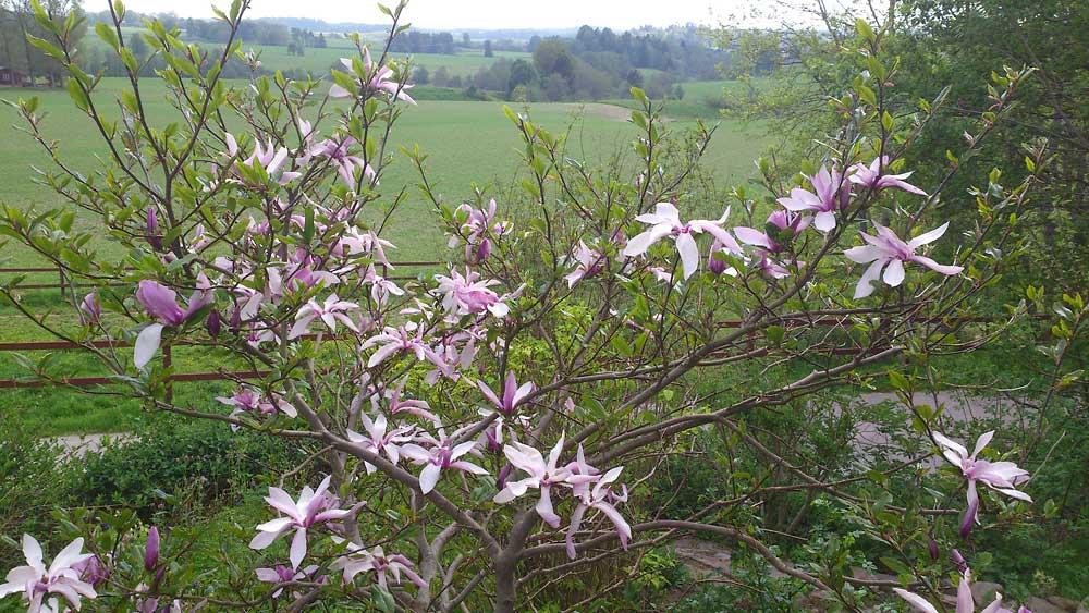 Magnolia-Susan-120525(2)
