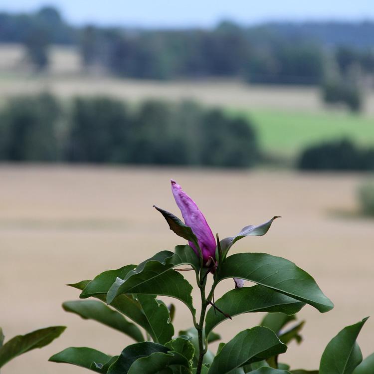 Magnolia-Susan-140813(4)