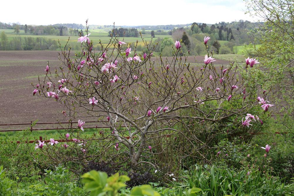 Magnolia-Susan-150519