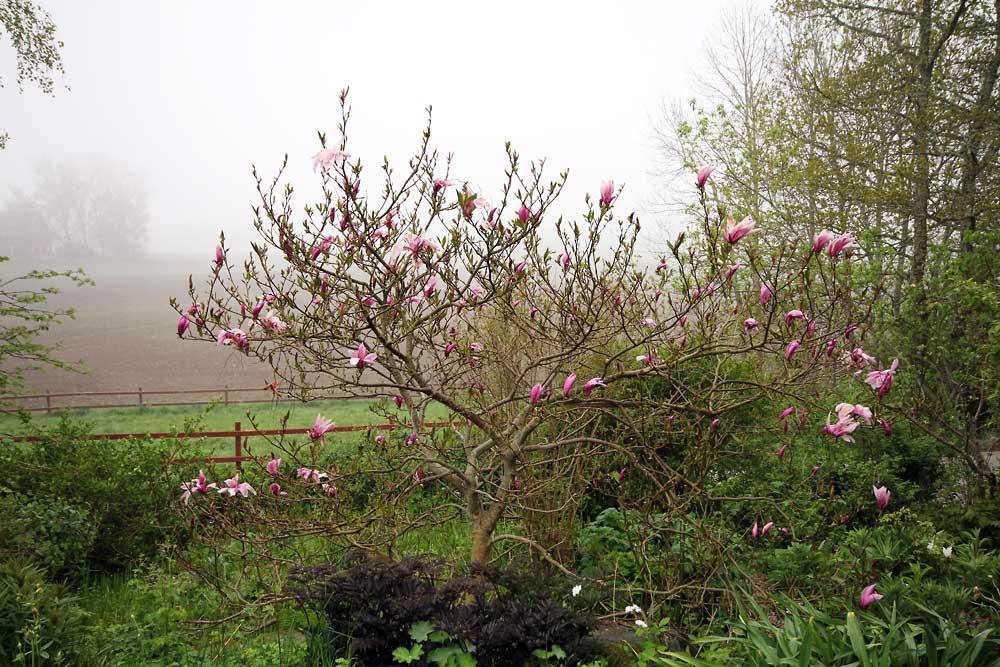 Magnolia-Susan-150521(10)