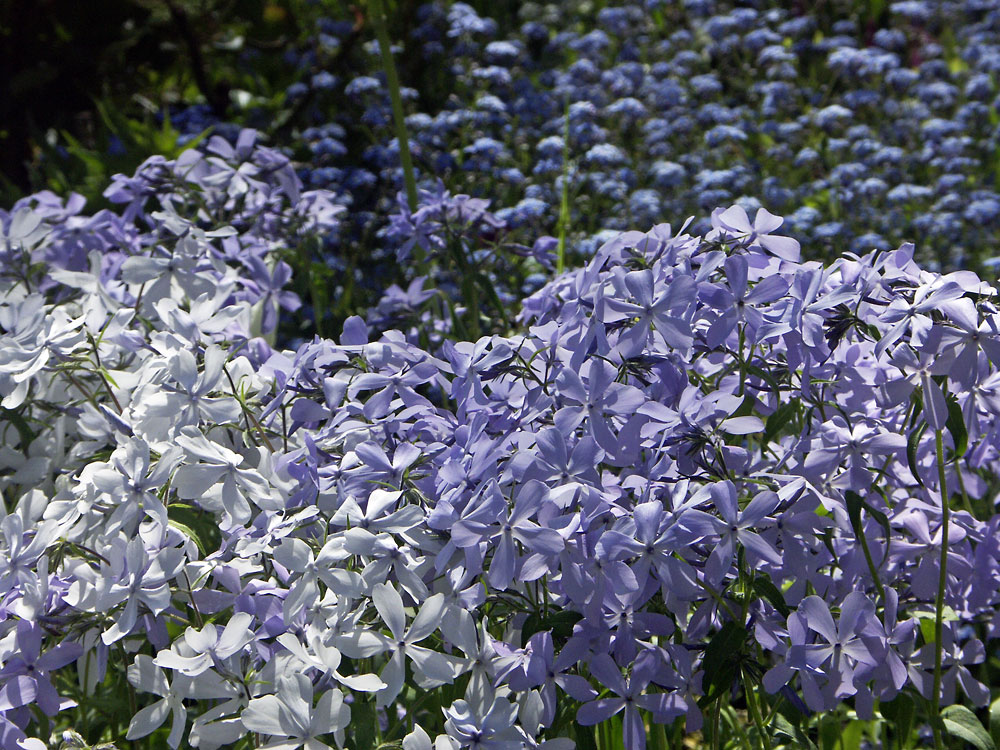 Phlox-divaricata-Clouds-of-Perfum-070516-a