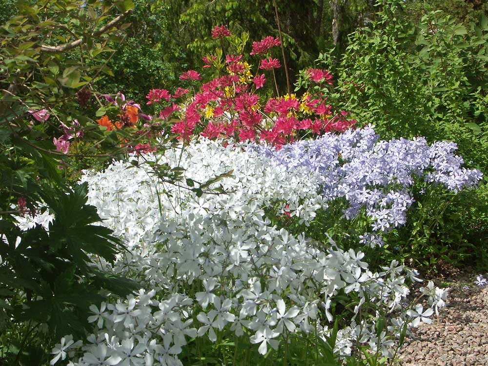 Phlox-divaricata-Clouds-of-Perfume-050529e