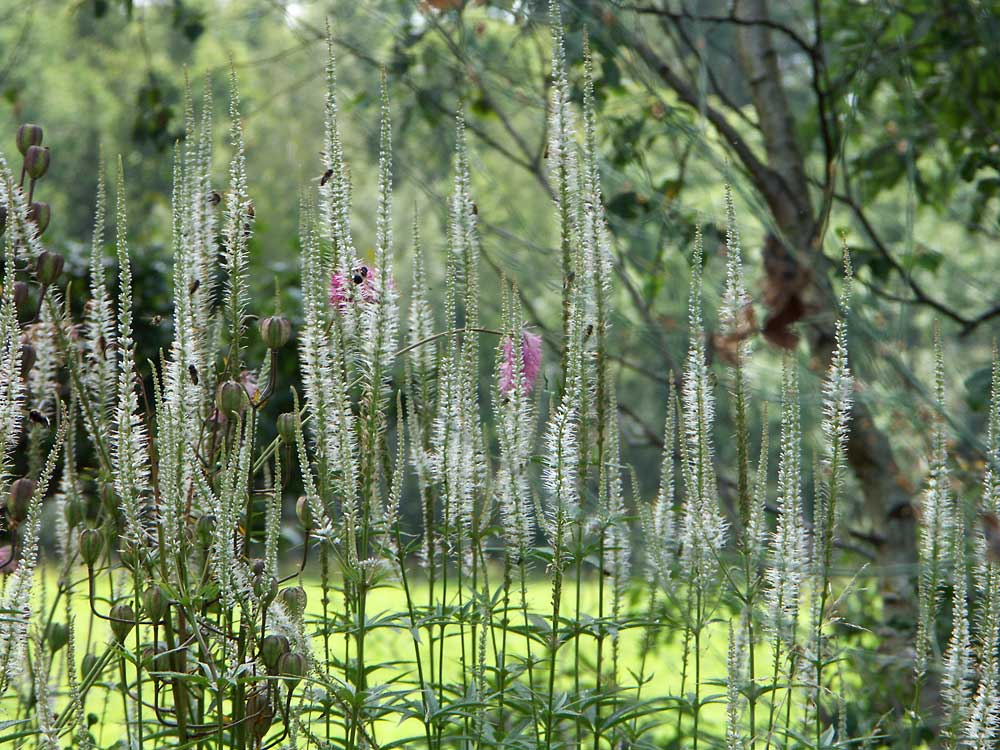 Veronicastrum-virginicum-Album-090805