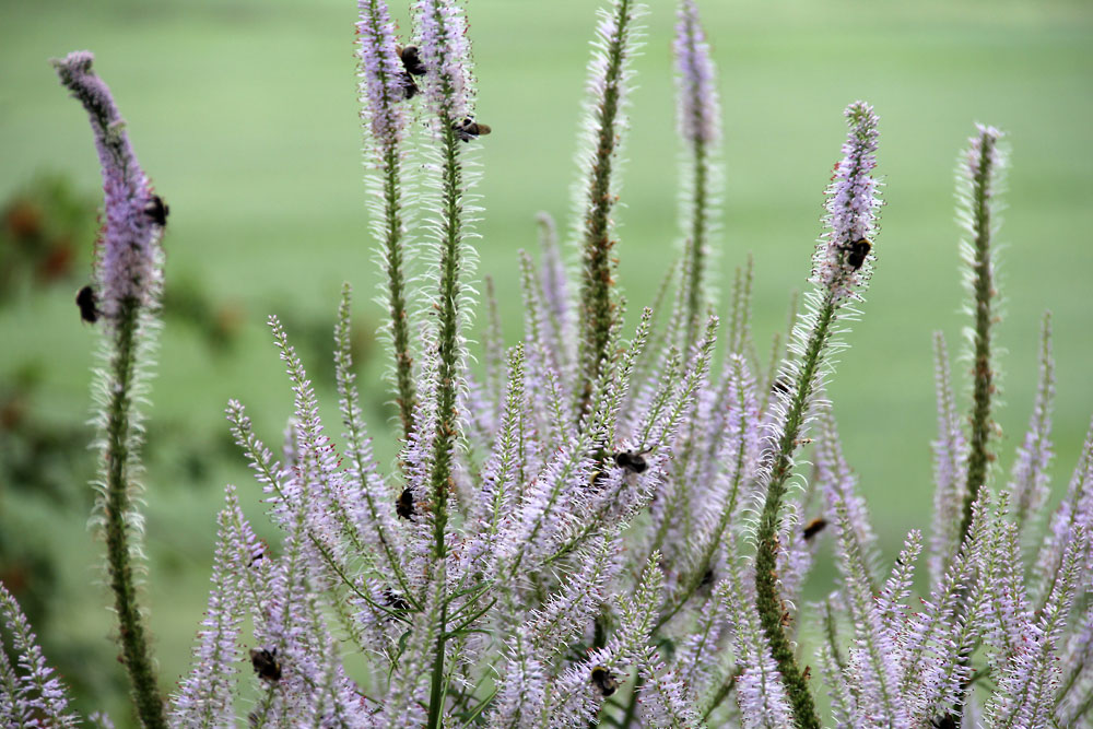 Veronicastrum-virginicum-Fascination-130727