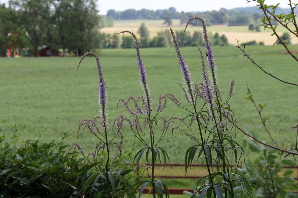 Veronicastrum-virginicum-lavendelturm-120722