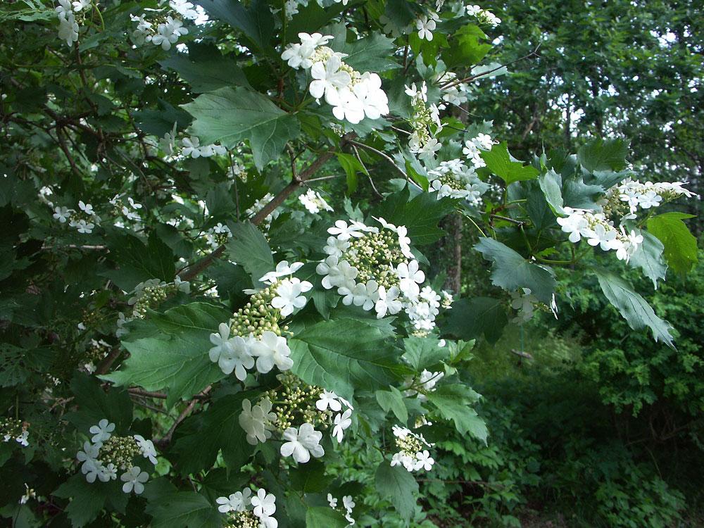 Viburnum-opulus-130613(1)