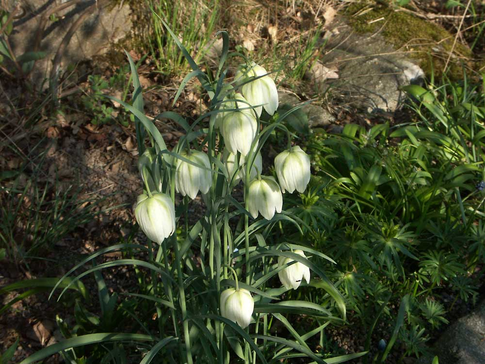 fritillaria-meleagris-alba-060509