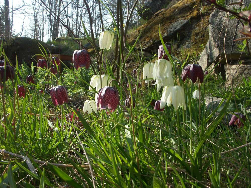fritillaria-meleagris-alba-060509(2)