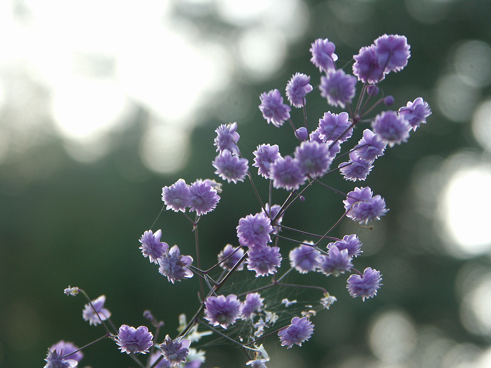 Thalictrum-delavayi-Hewitts-Double-050905