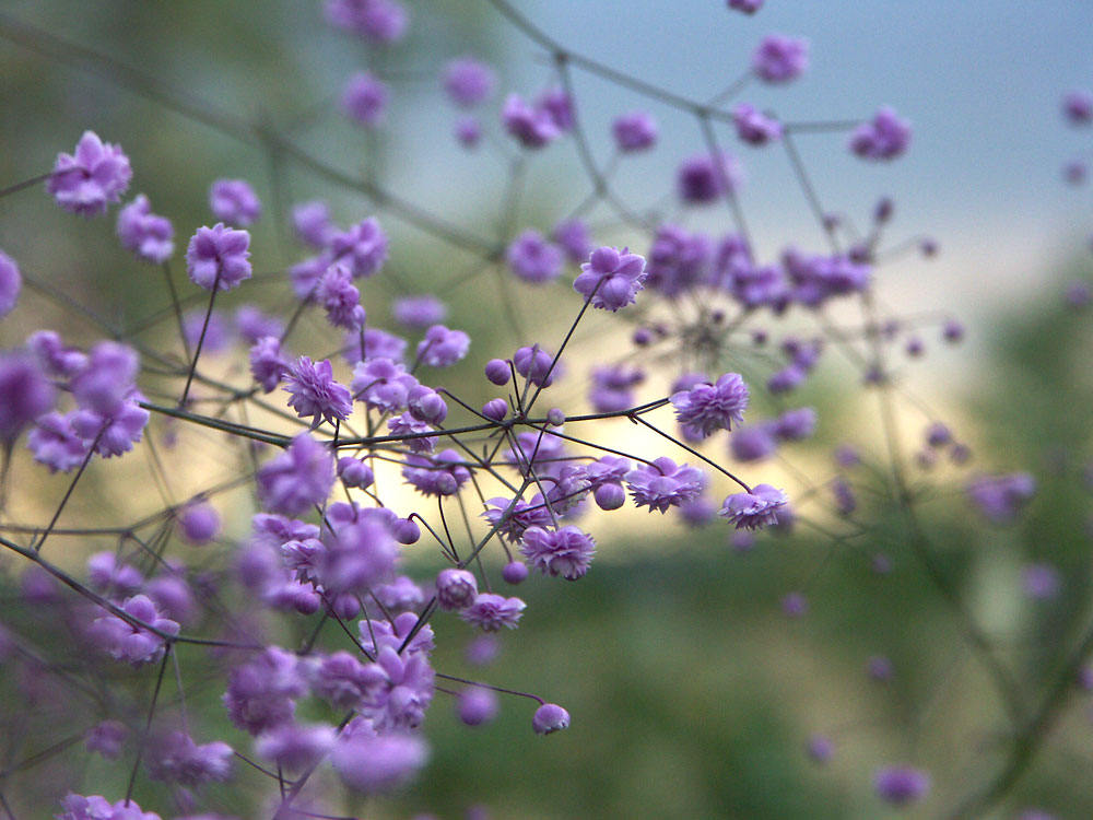 Thalictrum-delavayi-Hewitts-Double-070819