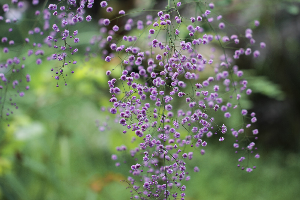 Thalictrum-delavayi-Hewitts-Double-150826