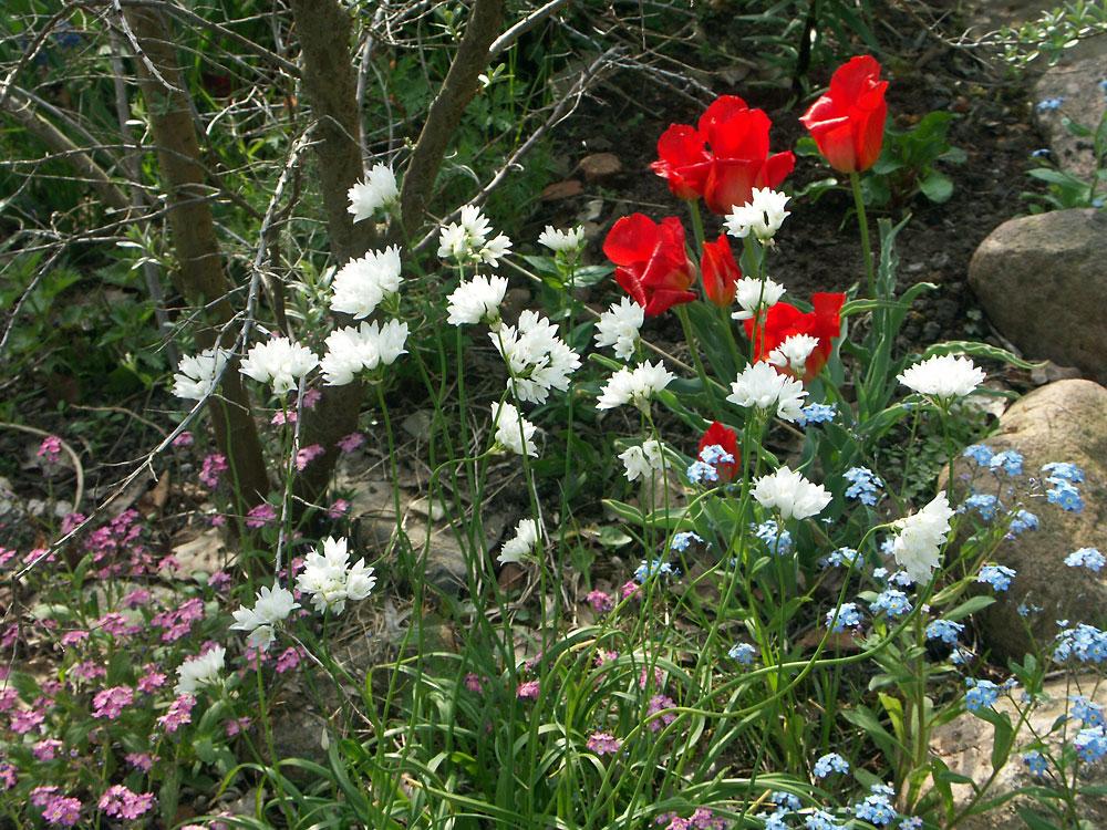 Allium-zebdanense-110512(4)