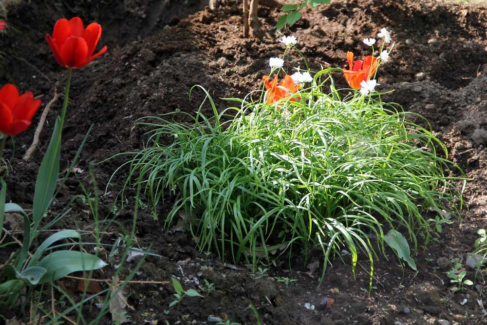 Allium-zebdanense-130528