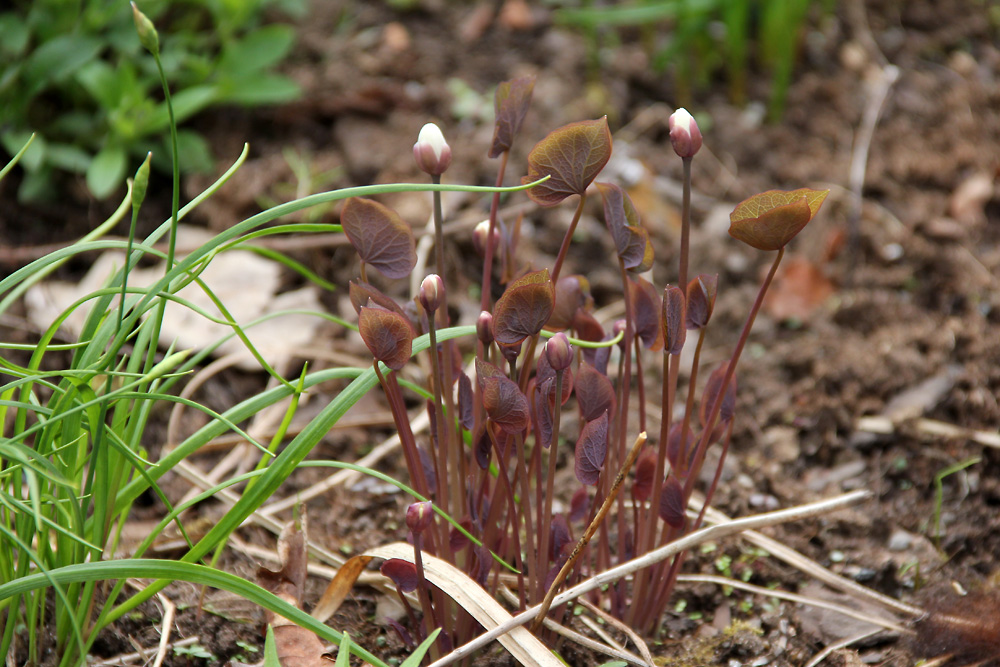 Jeffersonia-diphylla-150425(2)