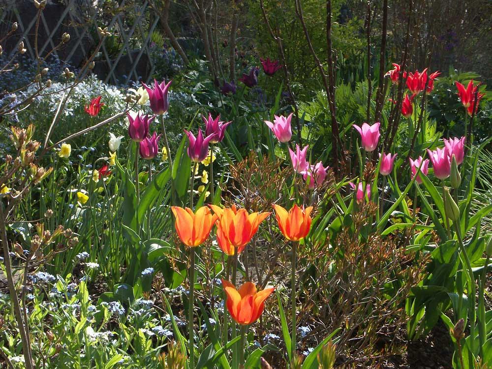 Tulipa-Ballerina-050515b