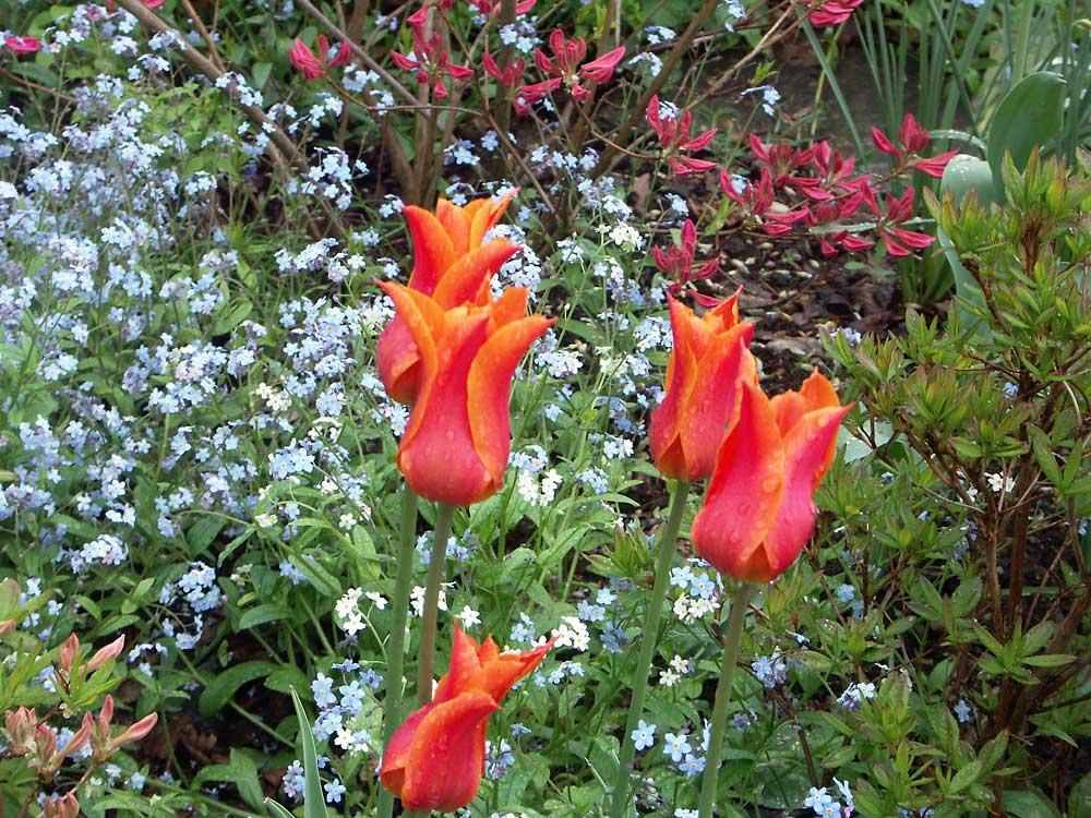 Tulipa-Ballerina-050523