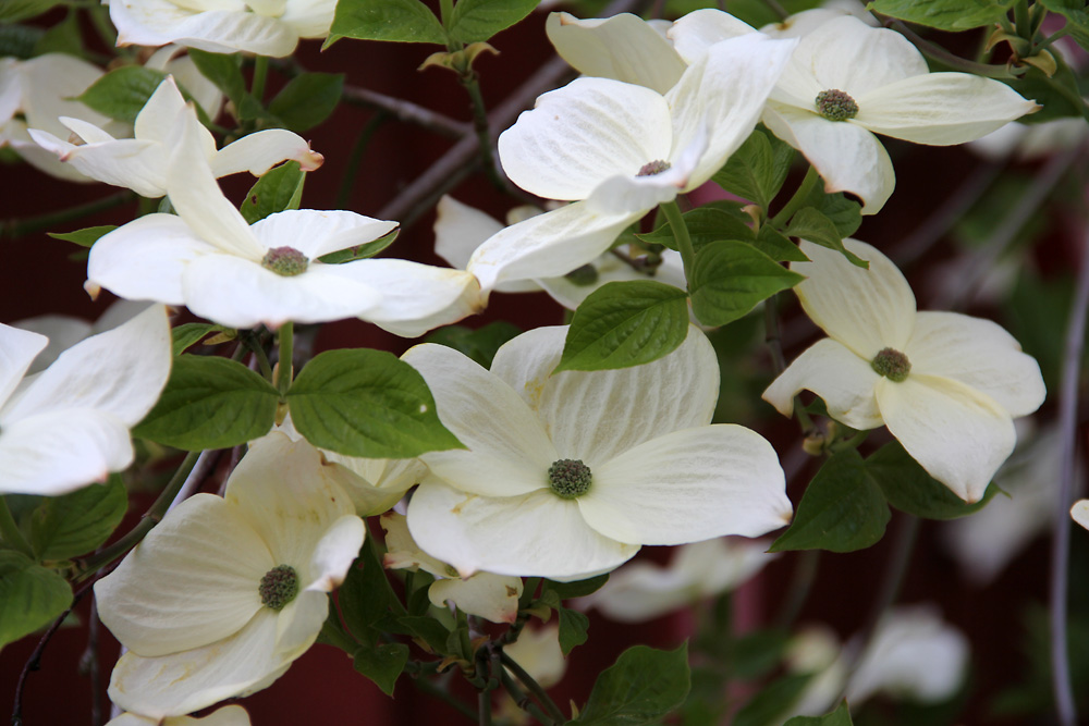 Cornus-x-Eddies-White-Wonder-150521(4)
