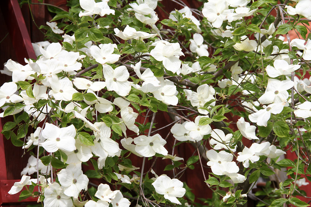 Cornus-x-Eddies-White-Wonder-150524(3)